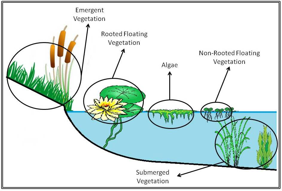 Types Water Plants Ponds