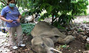 Ινδία ελεφαντίνα ανανάς κροτίδα