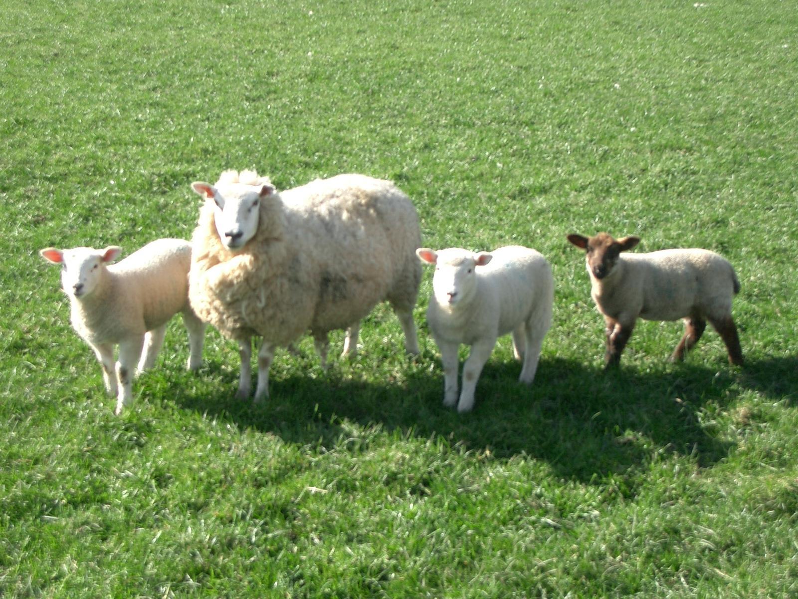 Sheep-Wallpaper-On-Desktop