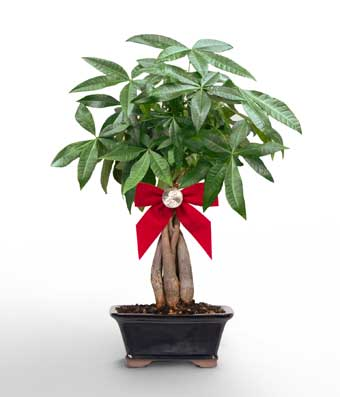 Peace Amp Prosperity Braided Money Tree At From You Flowers