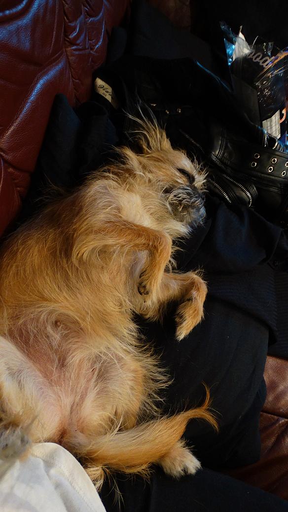 Lilla söta vovven Fia sov mest i studion. Foto: Peter Ahlborg