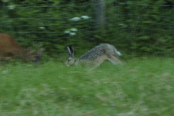 Peter lyckas med konststycket att få en bild på en hare som skuttar förbi kameralinsen medan rådjuret i bakgrunden lugnt betar vidare. Foto: Peter Ahlborg