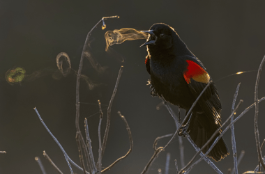 A red-wing blackbird's song appears as a series of ghostly vortex rings