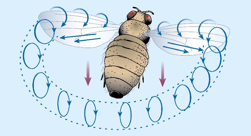 Illustration of the leading edge vortex produced by insect flight.
