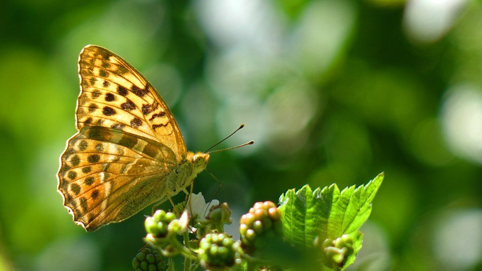 A silver washed fritillary butterfly.