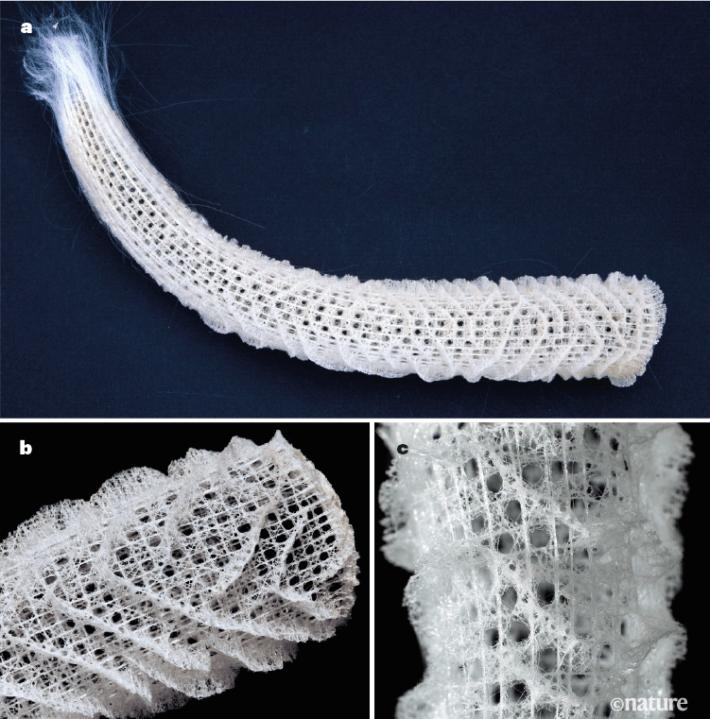 The Venus's flower basket sea sponge has an intricate porous skeleton.