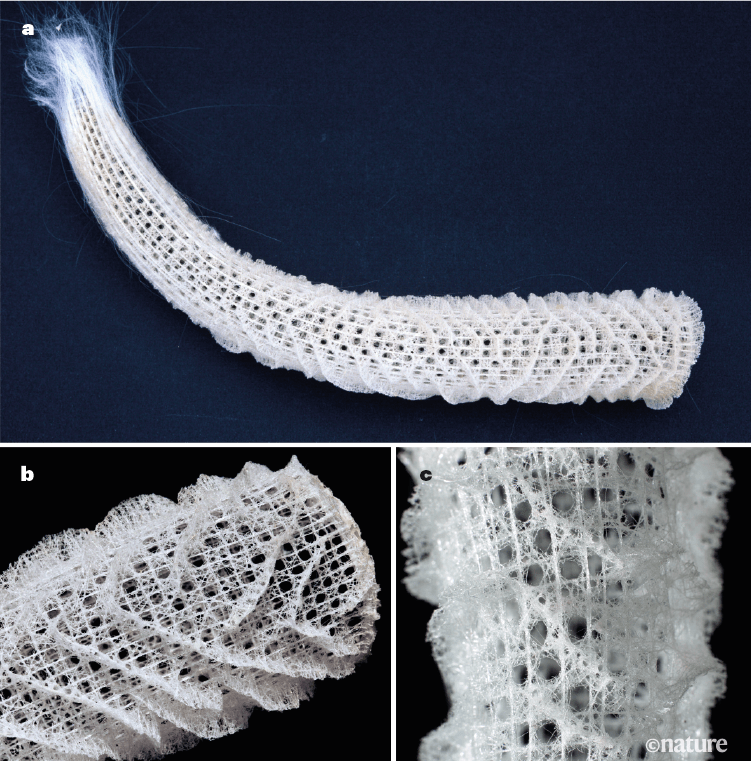 The Venus's flower basket sea sponge has a porous skeleton wrapped with helical ridges.