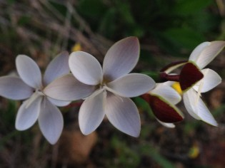 Hesperantha