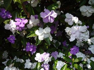 149577-425x319-Brunfelsia-latifolia