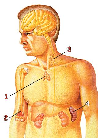 savunma sistemi organları