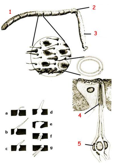 Arı antenleri