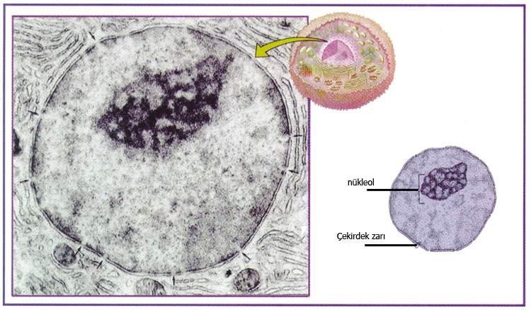 hücre çekirdeği