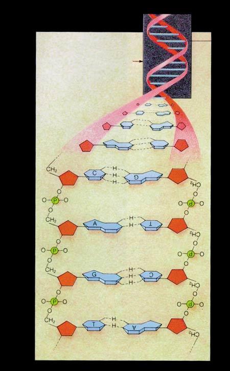 dna, nukleotid