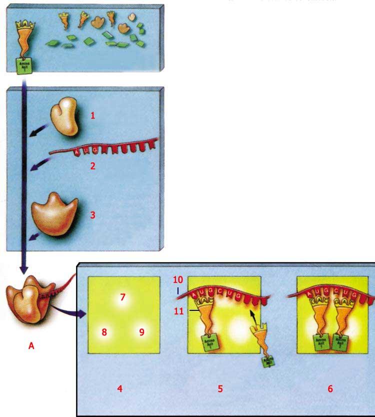 ribozom, protein, protein sentezi