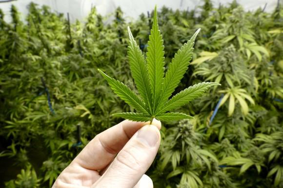 Marijuana leaf being held with marijuana plants in background