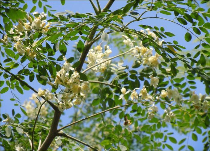 Moringa Oleifera Graines Maigrir