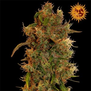 8 Ball Kush feminized seeds