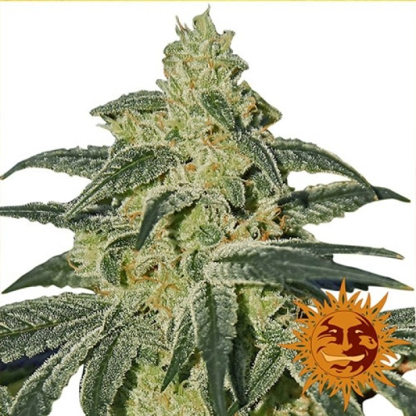 afghan hash plant regular seeds