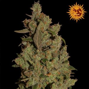 cbd critical cure feminized seeds