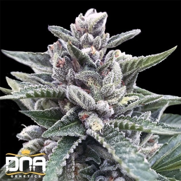 Kosher sorbet feminized seeds