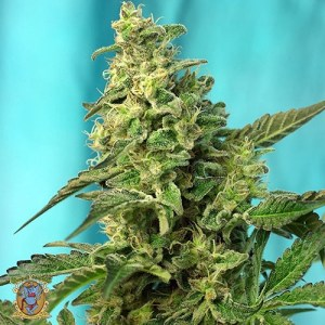 green poison fast feminized