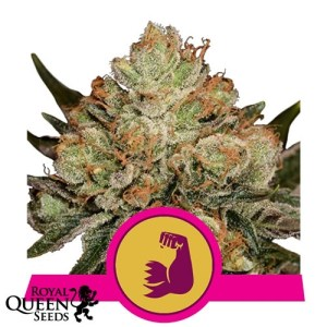 hulkberry feminized seeds