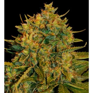 northern light x big bud feminized seeds