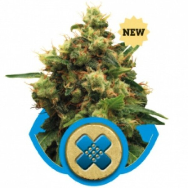 Painkiller XL feminized seeds