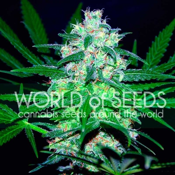 pakistan valley feminized seeds