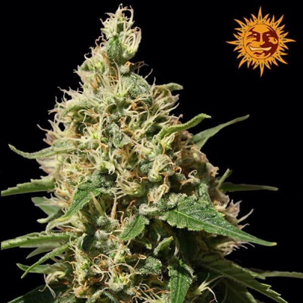 Peppermint kush feminized seeds
