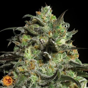 Peyote Cookies Feminized Seeds