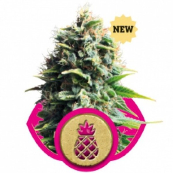 pineapple kush feminized seeds