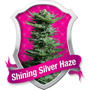 shining silver haze feminized seeds