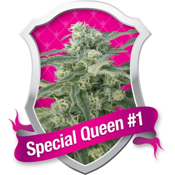 special queen 1 feminized seeds