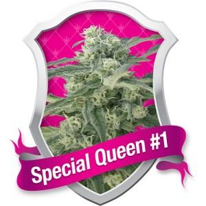 special queen 1 feminized seeds