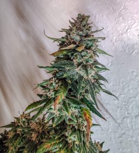 cheese seeds south africa 1