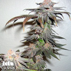 Grand Daddy Purps regular seeds