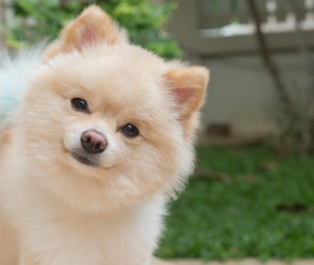 Common Pomeranian Health Issues
