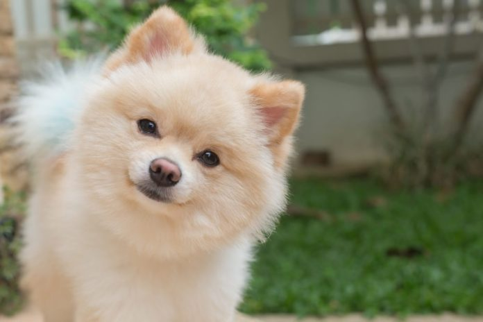 Image result for Pomeranian Dogs