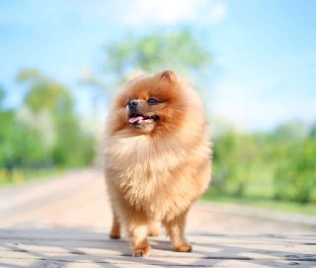 Do Pomeranians Shed