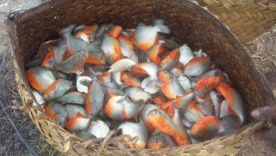 Foto de Diques da Produção na Baixada Maranhense