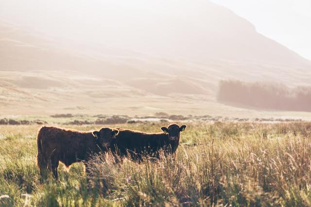 cows isle of mull scotland