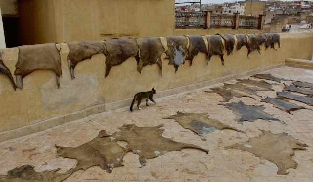 morocco-fez-tannery-cat