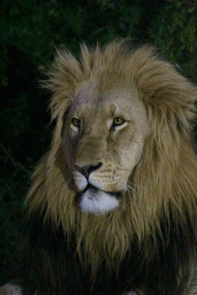 young male lion wildlife photography African Safari