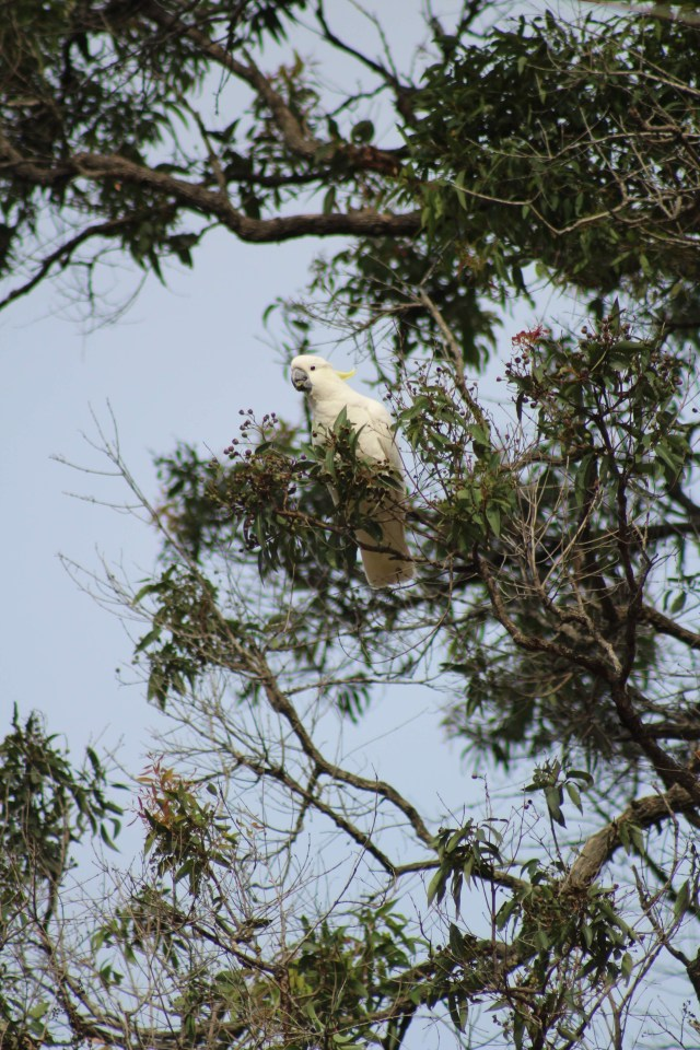 australia cockatoo