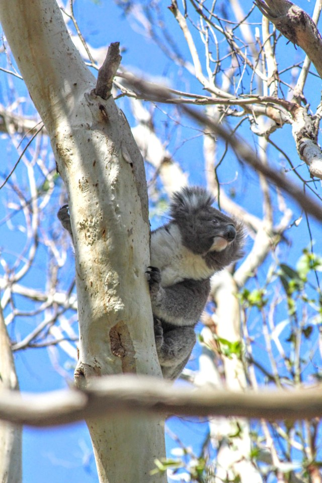 Australian wildlife koala photo