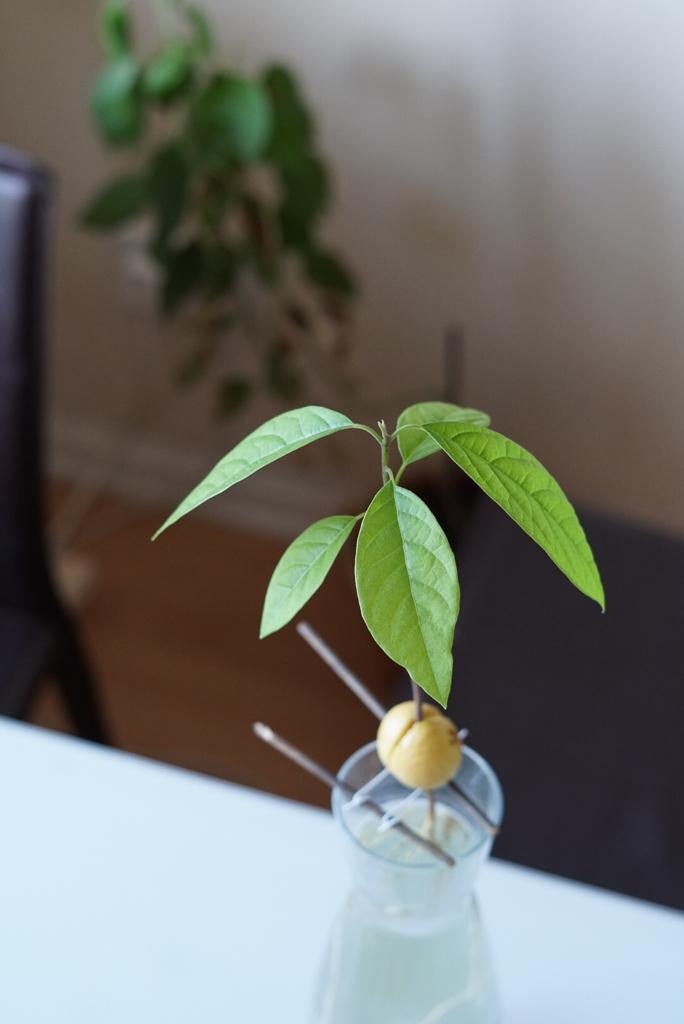 Como plantar Arvore de Avocado - gabi schiller