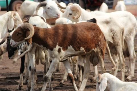 Jeudi férié, chômé et payé au Gabon pour la fête du mouton