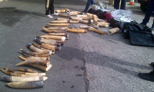 Deux trafiquants interpellés avec 206 kg d'ivoires, soit 21 éléphants massacrés