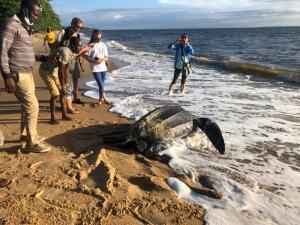 Tortue luth sur la plage de Libreville / Gabonactu.com